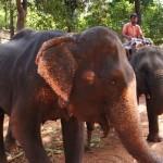 Поездка на слонах или катание на слоне, купание со слонами
