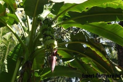 Плантация специй, банан