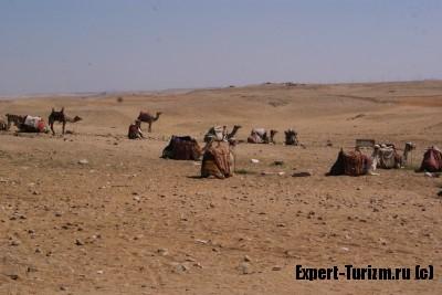 Верблюды у подножия пирамид в Гизе